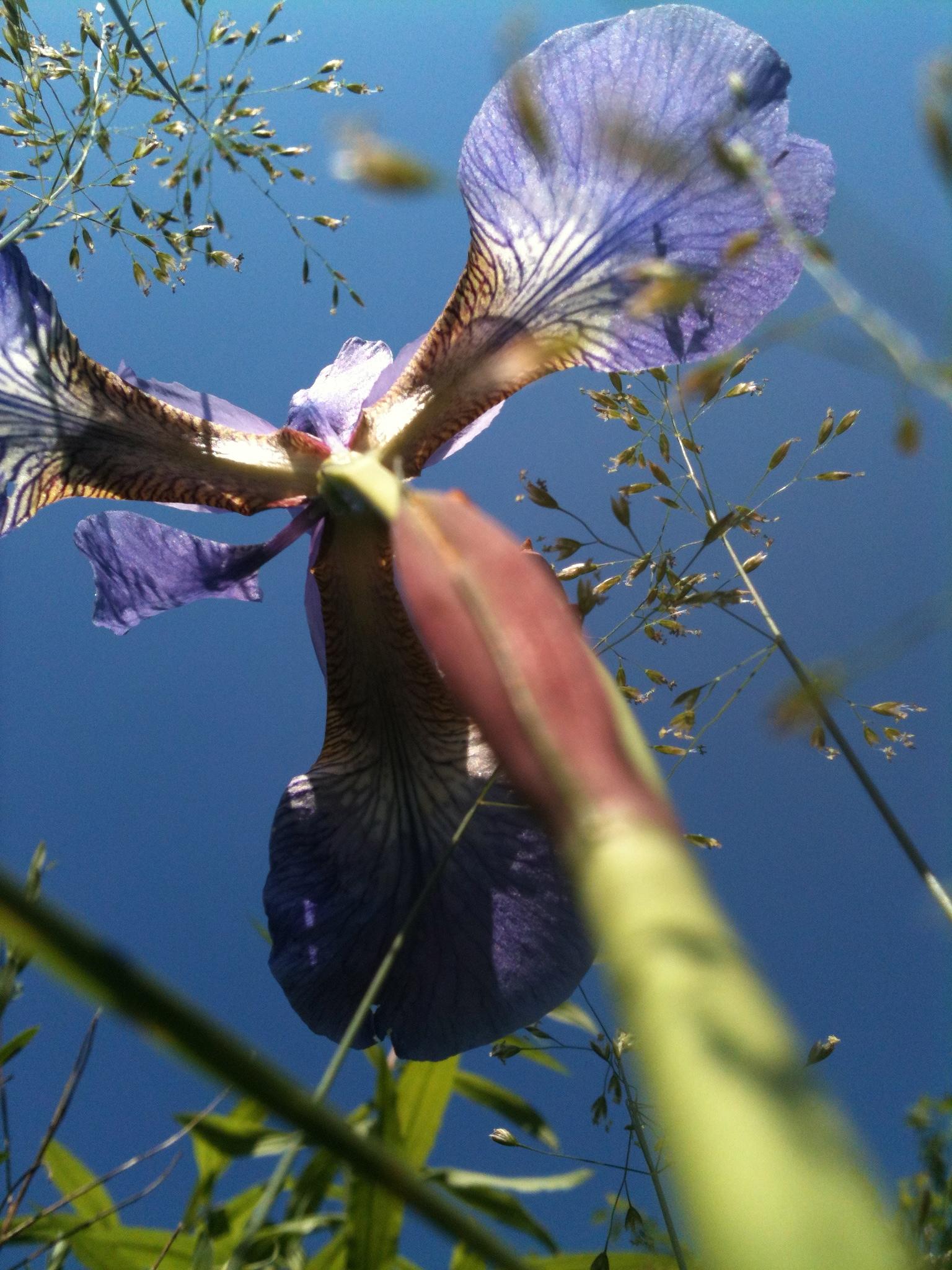 Susanne Reufer: Blaue Lilie als Symbol für das Wachsen